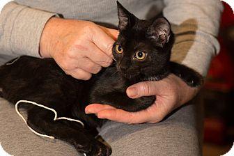 American Shorthair Kitten for adoption in Brooklyn, New York - Avi