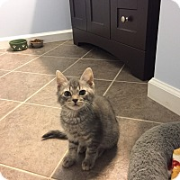 Adopt A Pet :: Luke (kitten) - Covington, KY