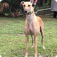 Adopt A Pet :: Forward - West Palm Beach, FL