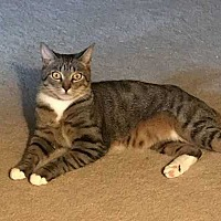 Domestic Shorthair Cat for adoption in Youngsville, North Carolina - Rafiki