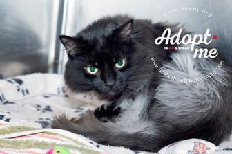 Domestic Longhair/Domestic Shorthair Mix Cat for adoption in Lindenwold, New Jersey - Nova