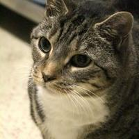 Domestic Mediumhair/Domestic Shorthair Mix Cat for adoption in Brunswick, Maine - Misty