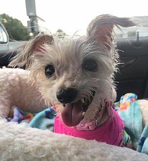 Yorkie, Yorkshire Terrier Mix Dog for adoption in Bucks County, Pennsylvania - Linny
