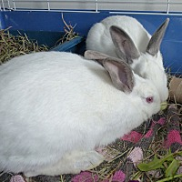 Adopt A Pet :: Ace & Ash - Alexandria, VA