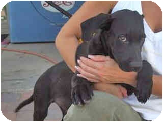 Labrador Retriever Mix Puppy for adoption in Scottsdale, Arizona - ABO
