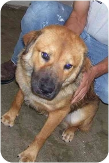 Chow Chow Mix Dog for adoption in Osceola, Arkansas - Pete