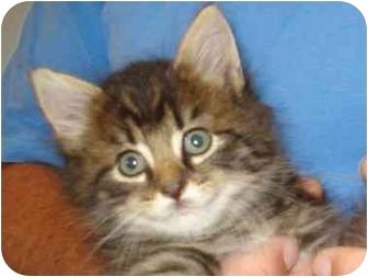 Domestic Shorthair Kitten for adoption in Richmond, Virginia - Blueberry