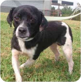 Spaniel (Unknown Type)/Chihuahua Mix Dog for adoption in Franklin Grove, Illinois - P.J.