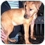 Photo 2 - Collie/Anatolian Shepherd Mix Puppy for adoption in Muskegon, Michigan - COOKIE
