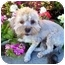 Photo 3 - Poodle (Miniature)/Lhasa Apso Mix Dog for adoption in Los Angeles, California - MANDEE