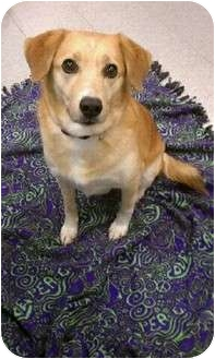 Labrador Retriever/Golden Retriever Mix Dog for adoption in Orland Park, Illinois - Louise