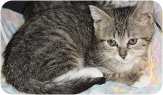 Domestic Shorthair Cat for adoption in North Highlands, California - Sancha
