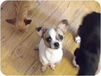 Chihuahua Dog for adoption in Wilminton, Delaware - Lovely