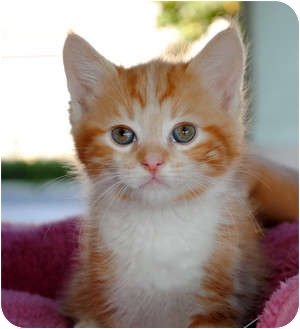Domestic Shorthair Kitten for adoption in Palmdale, California - Cheddar