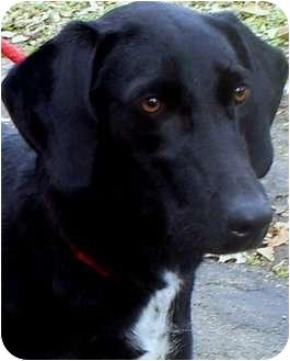 Labrador Retriever Mix Dog for adoption in Wakefield, Rhode Island - MERRY NOEL(ADORABLE LAB!!)