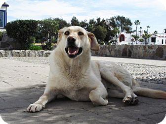 Labrador Retriever Dog for adoption in El Cajon, California - CHARMIN