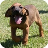Boxer/Hound (Unknown Type) Mix Puppy for adoption in Beacon, New York - Christy