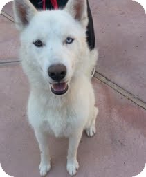 Siberian Husky Puppy for adoption in Apple valley, California - Priscilla
