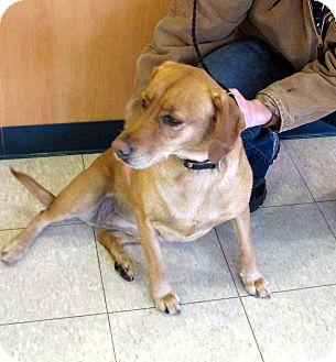 Retriever (Unknown Type) Mix Dog for adoption in Ludington, Michigan - Willow