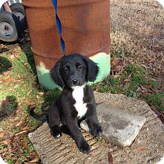 Australian Shepherd/Beagle Mix Puppy for adoption in Hartford, Connecticut - Teddy