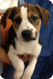 Terrier (Unknown Type, Small) Mix Puppy for adoption in Schertz, Texas - Charnee JH