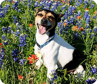 Rat Terrier/Jack Russell Terrier Mix Dog for adoption in College Station, Texas - Maya