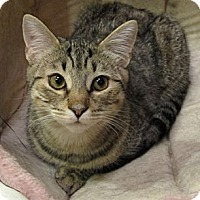 Domestic Mediumhair Cat for adoption in Rohrersville, Maryland - Athena
