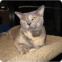 Adopt A Pet :: Beauty - Mesa, AZ