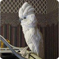 Adopt A Pet :: SNOWEE - Mantua, OH