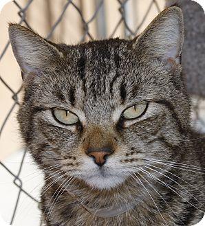 Domestic Shorthair Cat for adoption in Westminster, California - Cadbury