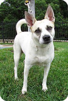 Australian Cattle Dog Mix Dog for adoption in Overland Park, Kansas - A064303 Annabell