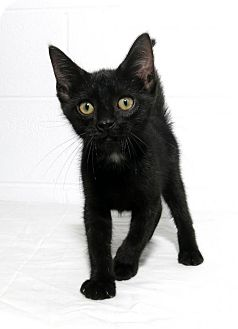 Domestic Shorthair Kitten for adoption in Lufkin, Texas - Curious George