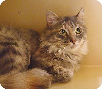 Domestic Mediumhair Cat for adoption in Ocean View, New Jersey - Noelle
