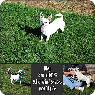 Chihuahua Mix Dog for adoption in Yuba City, California - 02/03 Bitsy