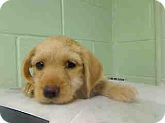 Cairn Terrier/Toy Poodle Mix Puppy for adoption in Long Beach, California - Blueberrry