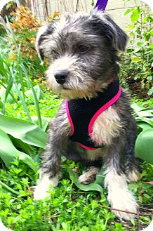 Norfolk Terrier/Poodle (Miniature) Mix Puppy for adoption in Boulder, Colorado - Barney-ADOPTION PENDING