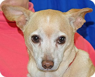 Chihuahua Mix Dog for adoption in Spokane, Washington - Rocky Two