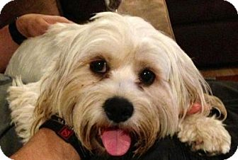 Lhasa Apso Dog for adoption in Portland, Oregon - Coco