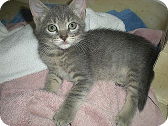 Domestic Shorthair Kitten for adoption in Tampa, Florida - Indy
