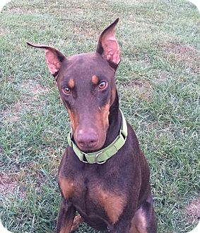 Doberman Pinscher Dog for adoption in Arlington, Virginia - Sugar