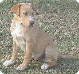 Labrador Retriever/Boxer Mix Dog for adoption in Hillsboro, Ohio - Cooper