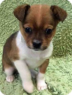 Chihuahua Mix Puppy for adoption in Gahanna, Ohio - ADOPTED!!!   Lil