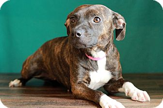 Pit Bull Terrier Mix Puppy for adoption in Waldorf, Maryland - Brindle
