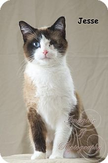 Domestic Shorthair Cat for adoption in Oklahoma City, Oklahoma - Jesse