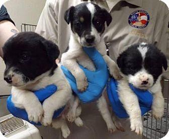Labrador Retriever Mix Puppy for adoption in Alpharetta, Georgia - Checker