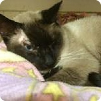 Siamese Cat for adoption in Quilcene, Washington - Harvey