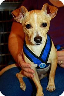 Chihuahua Mix Dog for adoption in Fort Myers, Florida - Buster