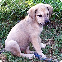 Adopt A Pet :: Shilo - Waller, TX