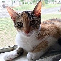 American Shorthair Cat for adoption in Toms River, New Jersey - Hazel