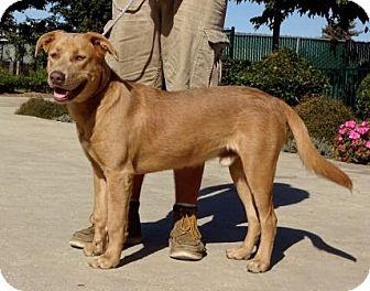 Labrador Retriever/Shepherd (Unknown Type) Mix Dog for adoption in Lathrop, California - Blue